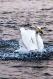 Cisne da aterrissagem no golfo de YanDunJiao Fotografia de Stock