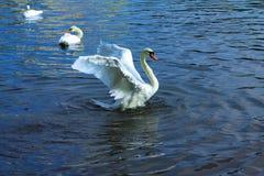 Cisne da dança Fotografia de Stock