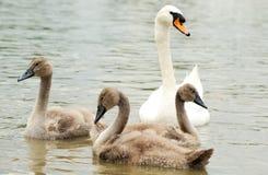 Cisne da família Foto de Stock