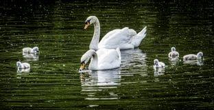 A cisne da família Fotografia de Stock Royalty Free