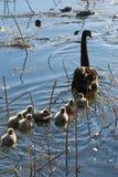 Cisne da família imagens de stock royalty free
