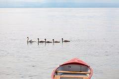 Cisne da mãe com os bebês no lago Leman lake geneva, Suíça imagem de stock