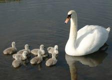 Cisne da mãe e cisnes novos do het imagens de stock