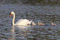 Cisne da mãe e seis cisnes novos Imagens de Stock Royalty Free
