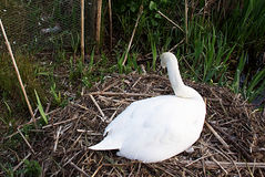 Cisne da mãe que protege seus ovos Imagens de Stock
