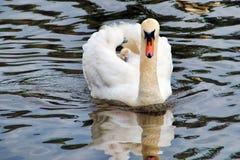 Cisne da mamãe imagem de stock