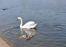 Cisne da mamãe e seus cisnes novos imagens de stock
