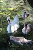 Cisne da matriz com bebês imagem de stock