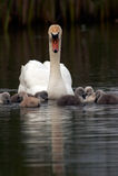 Cisne da matriz com bebês Fotografia de Stock