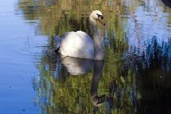 Cisne da natação Imagem de Stock