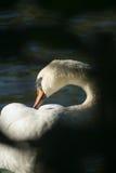 Cisne da trombeta fotografia de stock royalty free