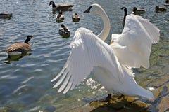 Cisne da trompetista fotografia de stock