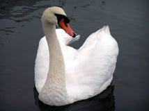 Cisne de Avon Imagens de Stock