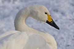 Cisne de Bewick Fotografia de Stock
