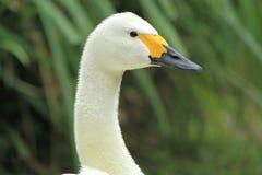 Cisne de Bewick Fotografía de archivo