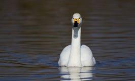 Cisne de Bewicks Imagen de archivo