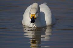 Cisne de Bewicks Fotografía de archivo