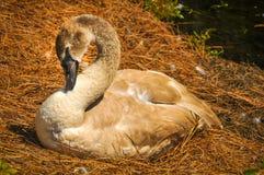 Cisne de Brown Imagem de Stock Royalty Free