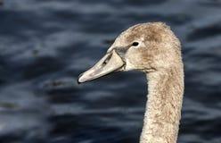 Cisne de Brown em Escócia Foto de Stock