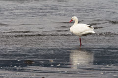 Cisne de Coscoroba Imagem de Stock