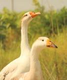 Cisne de dois brancos Fotos de Stock Royalty Free