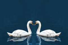 Cisne de dois brancos foto de stock
