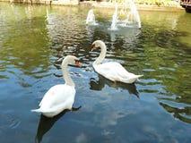Cisne de dois brancos no lago nevoento imagem de stock royalty free