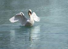 Cisne de domingo foto de archivo libre de regalías