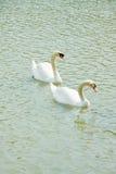Cisne de dos blancos Imágenes de archivo libres de regalías