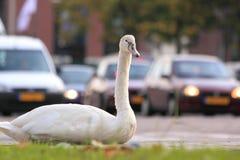 Cisne de la ciudad Fotografía de archivo