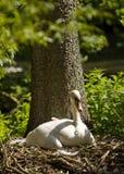 Cisne de la cría Imagen de archivo libre de regalías