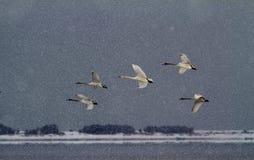 Cisne de la danza de XueZhongFei Imagen de archivo