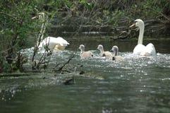 Cisne de la familia en el delta de Danubio Imagenes de archivo