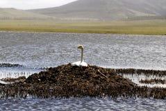 Cisne de la jerarquización en Mongolia fotografía de archivo libre de regalías