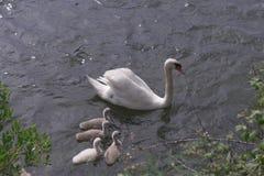 Cisne de la madre foto de archivo libre de regalías