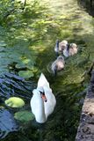 Cisne de la madre con los bebés Fotos de archivo libres de regalías