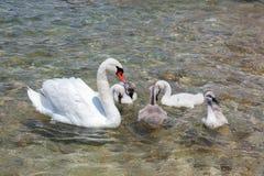 Cisne de la madre con los bebés Imagen de archivo