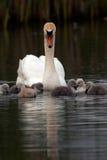 Cisne de la madre con los bebés Fotografía de archivo