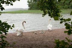 Cisne de la madre y del padre con sus pollos del cisne Foto de archivo libre de regalías