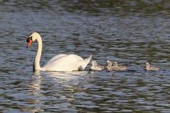 Cisne de la madre y seis pollos del cisne Imágenes de archivo libres de regalías