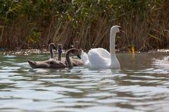 Cisne de la madre y sus pollos del cisne Imágenes de archivo libres de regalías