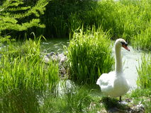 Cisne de la mamá y sus bebés Imagen de archivo libre de regalías