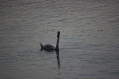 Cisne de la montaña del lago fotografía de archivo libre de regalías