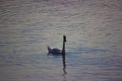 Cisne de la montaña del lago foto de archivo libre de regalías