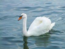 Cisne de la natación fotos de archivo
