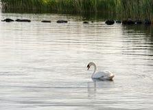Cisne de la natación fotografía de archivo libre de regalías