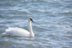Cisne de la natación imagenes de archivo