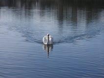 Cisne de la natación imagen de archivo libre de regalías