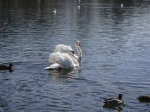 Cisne de la natación fotos de archivo libres de regalías
