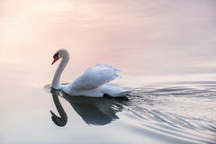 Cisne de la puesta del sol Imagenes de archivo